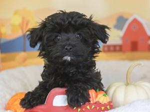 Havapoo-DOG-Female-black-