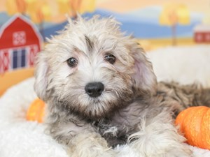 Schnoodle-DOG-Male-SALT & PEPPER-