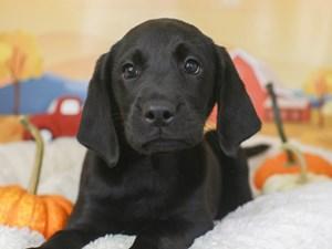 Labrador Retriever-DOG-Female-black-