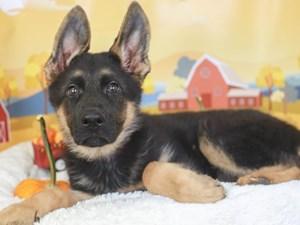 German Shepherd-DOG-Female-black/tan-