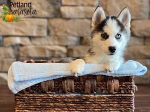 Siberian-Husky-DOG-Male-3343256