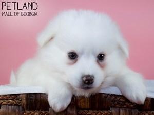 American-Eskimo-DOG-Female-3339506