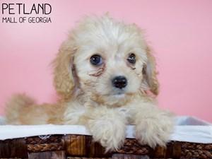 Cavachon-DOG-Female-3339683