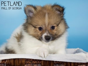Pomeranian-DOG-Male-3339577