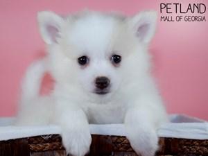 Pomeranian-DOG-Female-3339578
