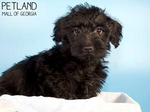 Miniature-Poodle-DOG-Male-3339494