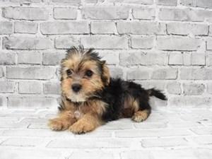 Morkie-DOG-Male-Black and Tan-