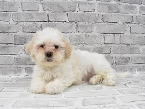 Teddy Bear-DOG-Female-CREAM & WHITE-