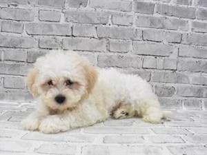 Teddy Bear-DOG-Male-WHITE-