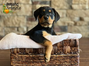 Rottweiler-DOG-Female-3348615