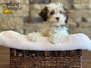 Havanese-DOG-Female-3348969