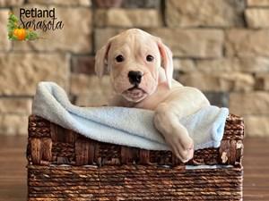 Boxer-DOG-Male-3348610
