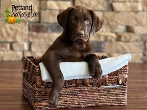 Labrador-Retriever-DOG-Male-3352362