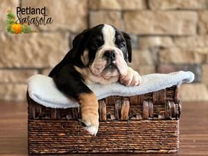 English-Bulldog-DOG-Male-3352349