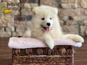 Samoyed-DOG-Female-3352347