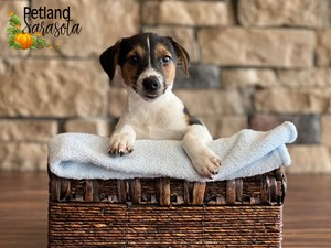 Jack-Russell-Terrier-DOG-Male-3352390