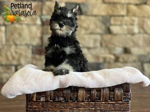 Miniature-Schnauzer-DOG-Female-3352385