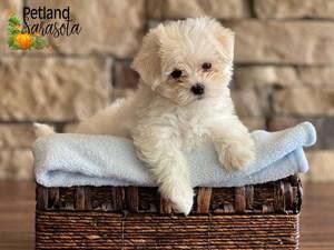 Maltese-DOG-Male-3352368