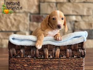 Dachshund-DOG-Male-3352357