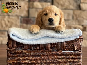 Golden-Retriever-DOG-Male-3348782