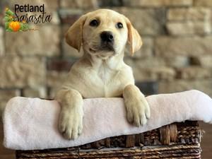 Labrador-Retriever-DOG-Female-3352363