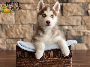 Siberian-Husky-DOG-Male-3352364