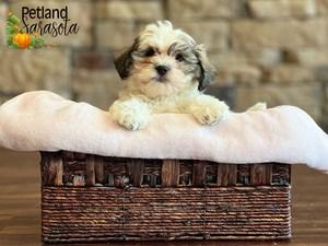 Teddy-Bear-DOG-Female-3352345