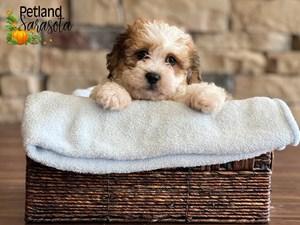 Teddy-Bear-DOG-Male-3348899