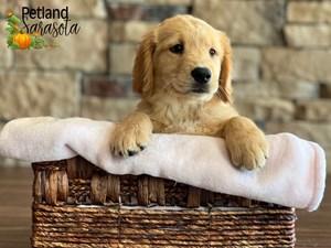 Golden-Retriever-DOG-Female-3348786