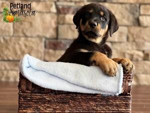 Rottweiler-DOG-Male-3348611