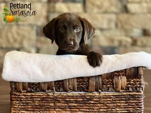 Labrador-Retriever-DOG-Female-3348827
