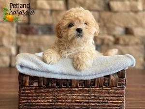 Teddy-Bear-DOG-Male-3348907