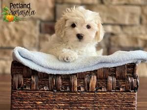 Teddy-Bear-DOG-Male-3352343