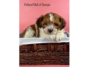 Teddy-Bear-DOG-Female-3348764