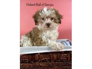 Havanese-DOG-Female-3348970