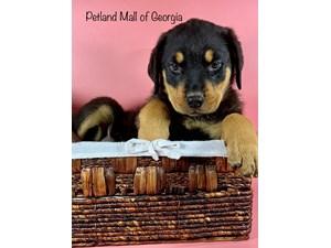 Rottweiler-DOG-Female-3348620