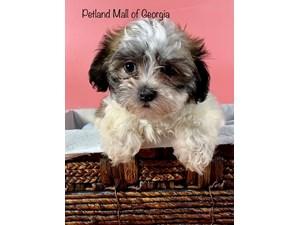 Teddy-Bear-DOG-Female-3348768