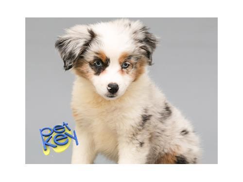 Australian Shepherd Dog Breed Profile Petkey
