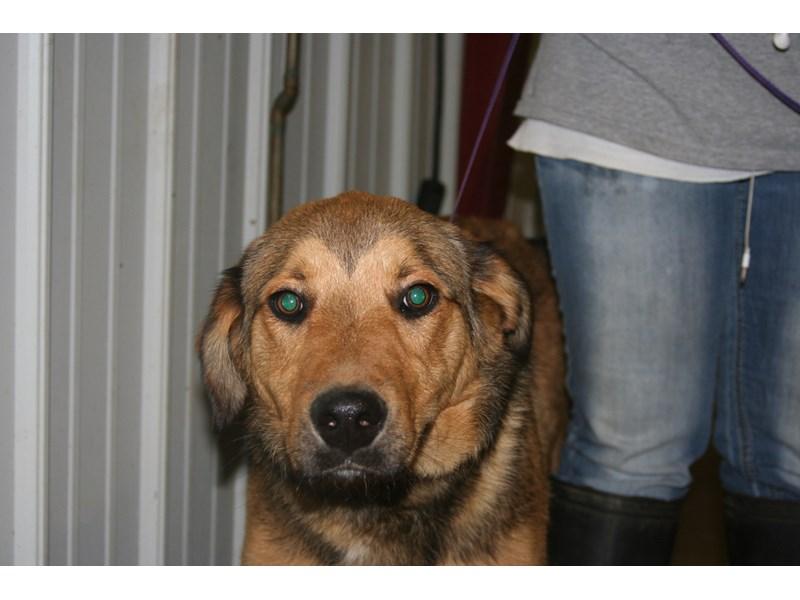 German Shepherd Mix-DOG-Male-Tan and Black-904918