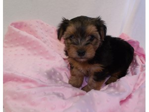 Yorkshire Terrier Missing Since: 8/30/2016. Ref: 945247