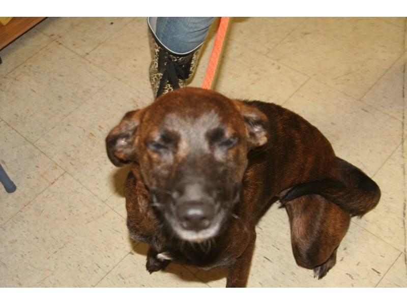 AAP Shepherd Mix-DOG-Female-Brindle-1084514