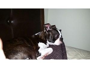 02/14/14 ROSCOE Boston Terrier • Adult • Male • Medium Boston Terrier. Boston  Terrier RescueBoston TerriersThe Woodlands TxHouston