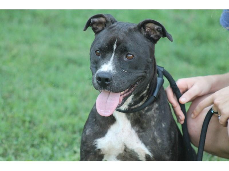 Pit Bull-DOG-Female-Black, White-1583984