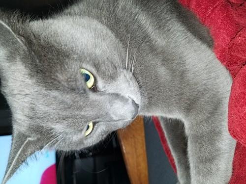 Russian Blue Cat Breeder Nj