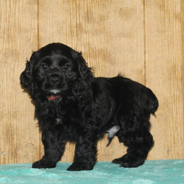 Male Cocker Spaniel