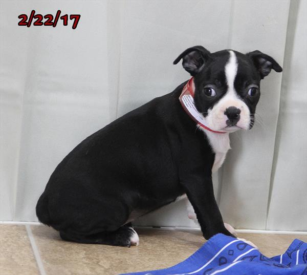 Female Boston Terrier