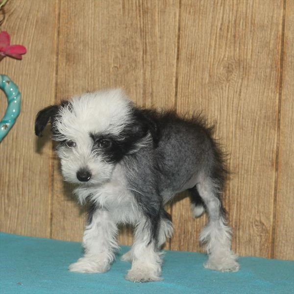 Male Chinese Crested