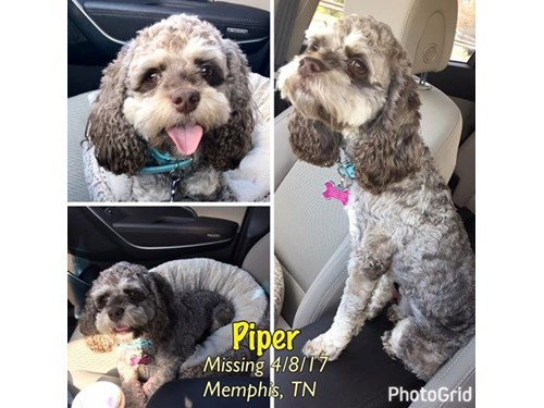 Piper A Lost Dog Is Missing In Memphis Tn 38128