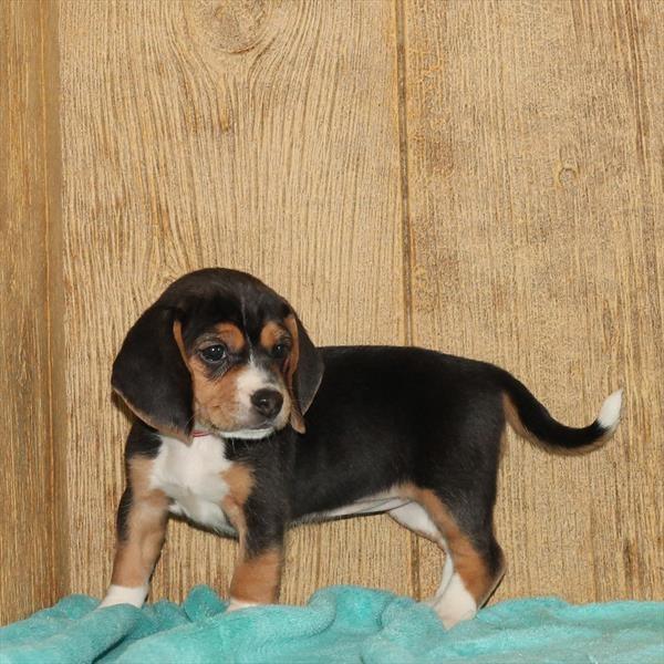 Female Beagle