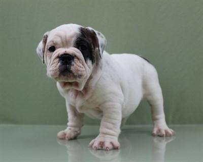 Male English Bulldog